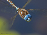 Rhionaeschna multicolor Blue-eyed Darner in flight 8b.jpg
