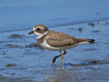 Semipalmated Plover 11a.jpg