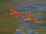 Sympetrum illotum Cardinal Meadowhawks in flight 5a.jpg
