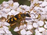 Xestoleptura sp. Long-horned Beetle A3a.jpg