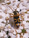 Xestoleptura sp. Long-horned Beetle A1a.jpg
