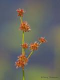 Tapered Rush -  Juncus acuminatus 1a.jpg