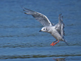 Bonapartes Gull landing 1a.jpg