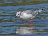 Bonapartes Gull non-breeding 4a.jpg