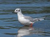 Bonapartes Gull non-breeding 5a.jpg