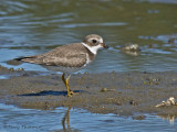 Semipalmated Plover juvenile 4a.jpg