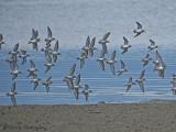 Western Sandpipers in flight 3a.jpg