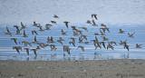 Western Sandpipers in flight 1a.jpg