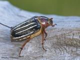 Scarab Beetles - Scarabaeidae of B.C.