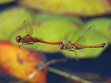 Sympetrum vicinum - Autumn Meadowhawks flying in tandem 2a.jpg