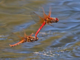 Sympetrum illotum - Cardinal Meadowhawks flying in tandem 16a.jpg
