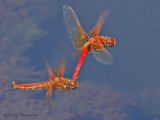 Sympetrum illotum - Cardinal Meadowhawks flying in tandem 15a.jpg