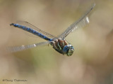 Aeshna palmata Paddle-tailed Darner in flight 23a.jpg