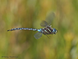 Aeshna palmata Paddle-tailed Darner in flight 26a.jpg