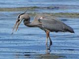 Great Blue Heron 14a.jpg