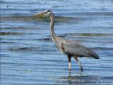 Great Blue Heron 15a.jpg