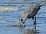 Great Blue Heron 16a.jpg