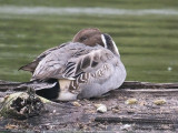 Northern Pintail resting 1a.jpg