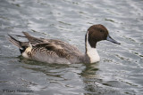 Northern Pintail 5b.jpg