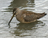 Long-billed Dowitcher juvenile 1b .jpg