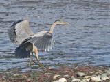 Great Blue Heron landing 2b.jpg