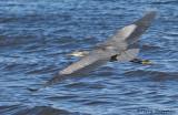 Great Blue Heron in flight 5b.jpg
