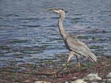 Great Blue Heron 19a.jpg