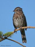 Song Sparrow 21b.jpg