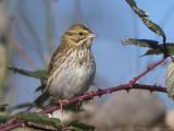 Savannah Sparrow 12b.jpg