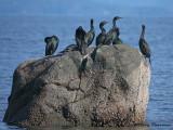 Pelagic Cormorants 11b.jpg