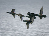 Harlequin Ducks in flight 2a.jpg