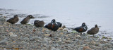 Harlequin Ducks 8a.jpg