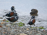 Harlequin Ducks 7a.jpg
