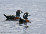 Harlequin Ducks 6b.jpg
