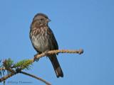 Song Sparrow 19b.jpg