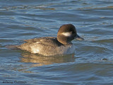 Bufflehead female 6b.jpg