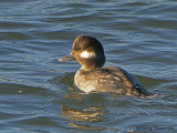 Bufflehead female 7b.jpg