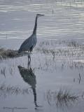 Great Blue Heron 22b.jpg