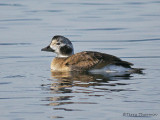 Long-tailed Duck first winter female 1b.jpg