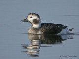 Long-tailed Duck winter female 1b.jpg