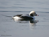 Long-tailed Duck winter male 2b.jpg
