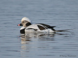 Long-tailed Duck winter male 11b.jpg