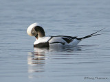 Long-tailed Duck winter male preaning 1b.jpg