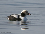 Long-tailed Duck winter male 3b.jpg