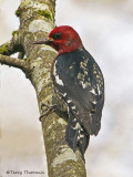 Red-breasted Sapsucker 9b.jpg