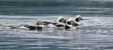 Long-tailed Ducks 9b.jpg