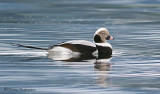 Long-tailed Duck 7b.jpg