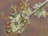 Lichens B1b.jpg