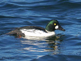 Common Goldeneye 30b.jpg