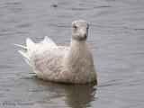 Glaucous Gull first winter 3b.jpg